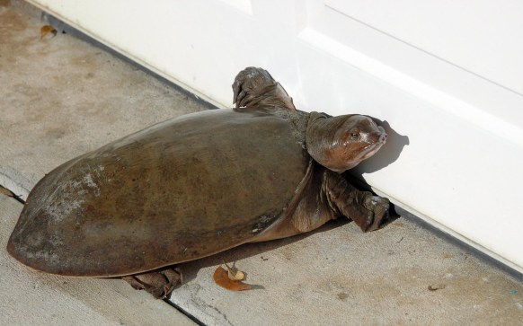 A Florida softshell turtle got confused and tried to park itself in our garage in 2007. Of course it went on its merry way back to one of our community's ponds. It is very aggressive-looking but certainly not the equal of a snapping turtle.