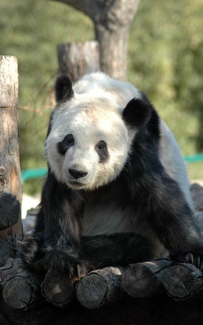 Just like the Great Wall and the Forbidden City, no tourist's visit to China would be complete without seeing a panda. Here's one from our visit in 2007.
