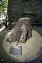 Here's another shot I got in 2007 of the stump of a 100-year-old Sycamore at St. Paul's Chapel in New York City in 2007. St. Paul's Chapel was used in the wake of the 9-11 terrorist attack on New York's Twin Towers in 2001 by rescuers and emergency workers. The tree was destroyed when debris from the Twin Towers rained down on it. However, the chapel's trees protected it and not one pane of glass was damaged. The stump commemorates the heroism in the tragedy of that day.