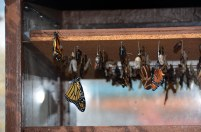 Here's a closer shot of a butterfly and chrysalis in a butterfly house at the annual EPCOT International Flower & Garden Festival at Walt Disney World. Allison got this shot on March 16, 2015, while on a quick Spring Break trip with Debbie.