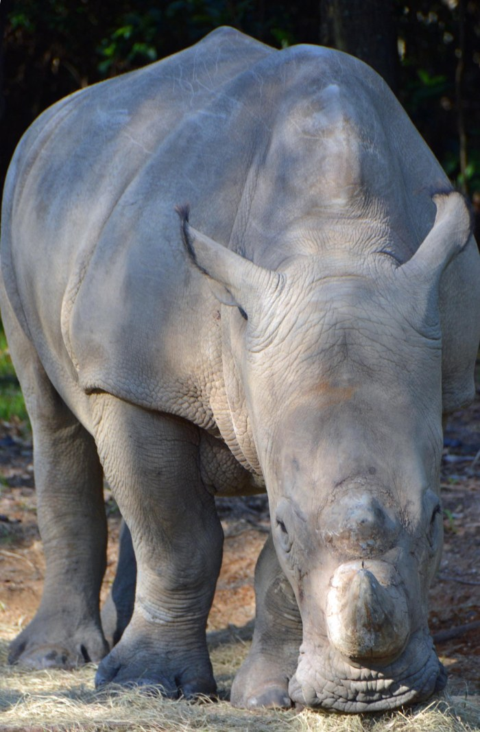 Here's a shot I got of a rhinoceros during our trip on Kilimanjaro Safaris at the Animal Kingdom park on Feb. 8, 2015 during our long weekend trip to Walt Disney World.