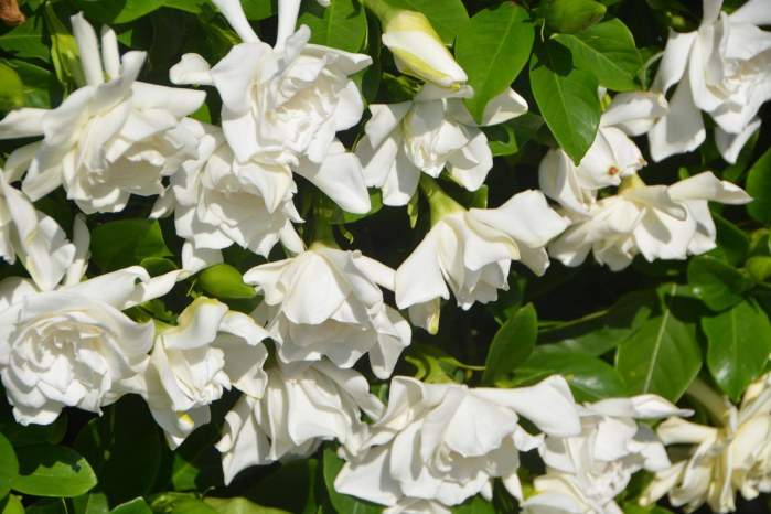 Here's another shot of the explosion of gardenias on one of our two gardenia bushes in our back yard. I got the shot on the morning of April 26, 2015, at our home in Naples, Fla.