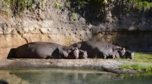 Well, these hippopotami (Latin plural) don't look hungry, hungry! I got this shot of these sedate mammals at the Animal Kingdom park on Feb. 8, 2015, at Walt Disney World. We were on the Kilimanjaro Safaris ride when I snapped the photo.