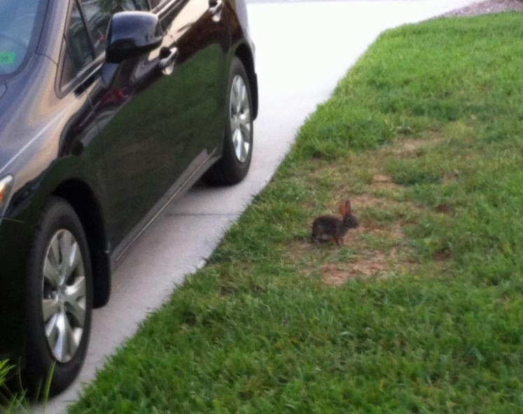 Rabbits are not an uncommon sight in our neighborhood in North Naples, Fla. Here's one I found by the driver's door of my car on the morning of July 21, 2015. Well, I guess it's better than finding a 10-foot alligator.