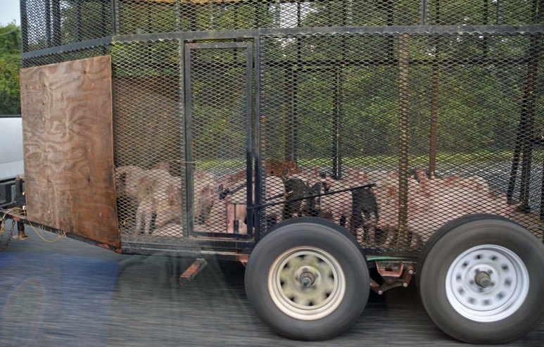 I'd never seen pigs transported on an interstate highway before Aug. 22, 2015. We had visited family in Valdosta, Ga., and then went south again to Gainesville, Fla., to visit our daughter at the University of Florida. While driving home, I was riding shotgun when we saw this sight: a truck pulling a trailer with pigs in it. It was south of Gainesville on Interstate-75. The blur in the image at the bottom left is my reflection in the glass.