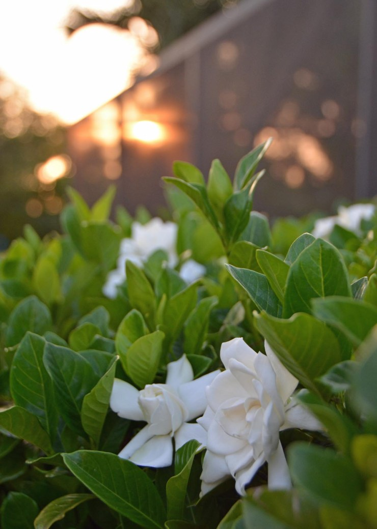 Here we go again … the gardenias are in bloom across Southwest Florida. Here's one of our two gardenia bushes as the sun began to set on April 28, 2016, at our house in Naples, Fla.