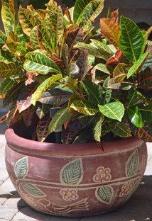 """Bored again"" ... here is a croton in a container on our patio. I got the shot out of sheer boredom on July 31, 2016, at our home in Naples, Fla."