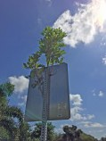 I have been waiting to take a photo of a bush to grow larger up through the post for this speed limit sign in our Naples, Fla., neighborhood and decided it was big enough on Sept. 4, 2016, to stop and get a shot with my iPhone. The back side shot isn't great because of the position of the sun, but it does show how the plant grew up through the ventilated post (without the vent holes, it wouldn't have made it, I believe).