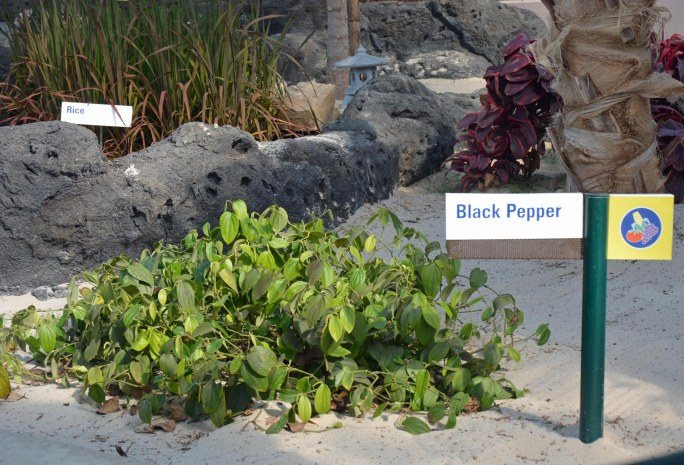 """Wonder what your black pepper looks like before being stocked on a supermarket shelf? Here's the black pepper plant. I got this shot while we were on a trip to Walt Disney World on the """"Living with the Land"""" ride on Aug. 19, 2016."""