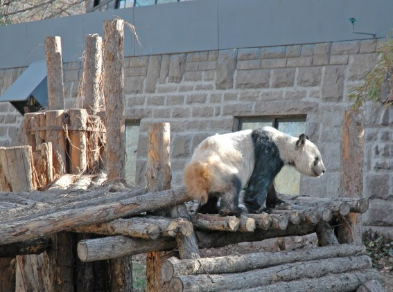 I'm not a big fan of zoos, but seeing pandas in China was really neat. However, the zoo was a bit rough as you can see in shot of a panda I got at the facility in Beijing in 2007.