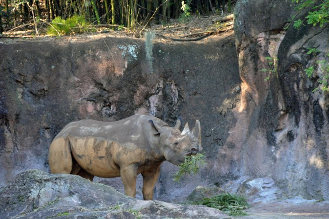 Here's another shot of a rhinoceros I took on the Kilimanjaro Safaris ride at the Animal Kingdom park at Walt Disney World on Feb. 8, 2015.