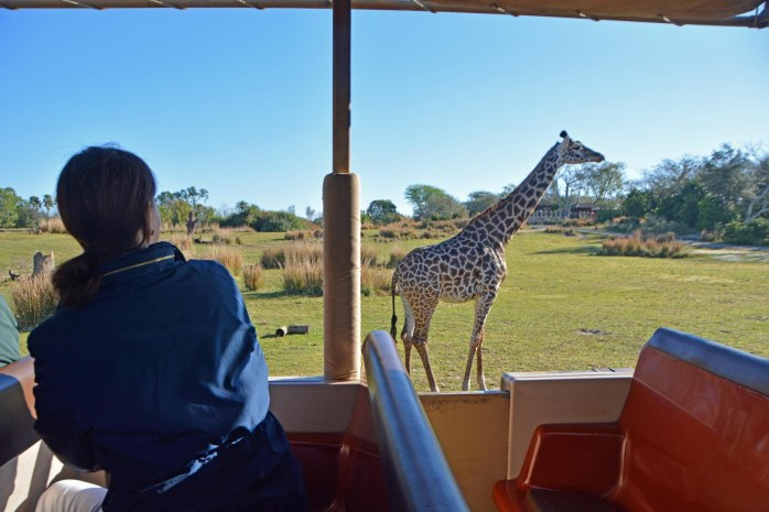 Guests get up close to animals on the Kilimanjaro Safaris ride at the Animal Kingdom park. Here's a guest looking as we pass a giraffe. We were at Walt Disney World on Feb. 8, 2015, when I got this shot.