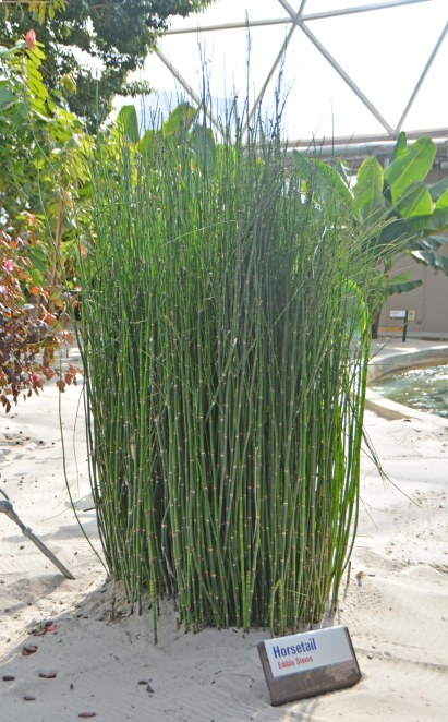 "Here's a shot of Horsetail and it's among the edible plants being grown and shown during the Living with the Land ride. I like the greenhouse part of the tour at the The Land and the Living with the Land ride is a favorite ""little"" adventure. We were on a day trip to Walt Disney World when I got this shot at EPCOT on Feb. 5, 2017."
