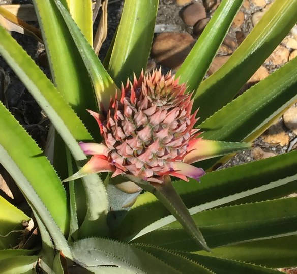 We grow a special pineapple at our home in Naples, Fla. It's called a micro-pineapple. It's a real pineapple, but smaller. I got this shot outside out patio on Feb. 19, 2017.
