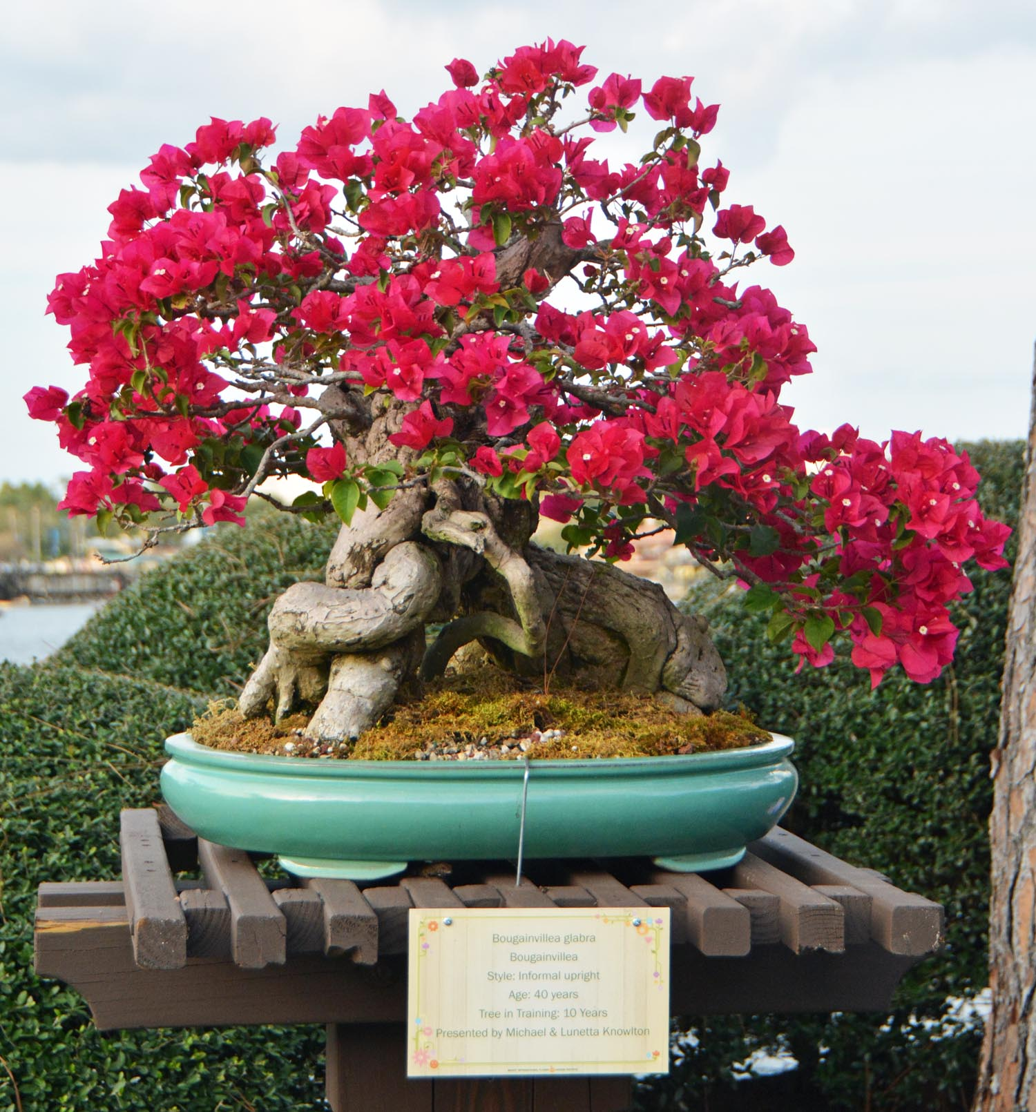 Today S Disney Photo Bonsai On Display At Flower Garden A Gator In Naples
